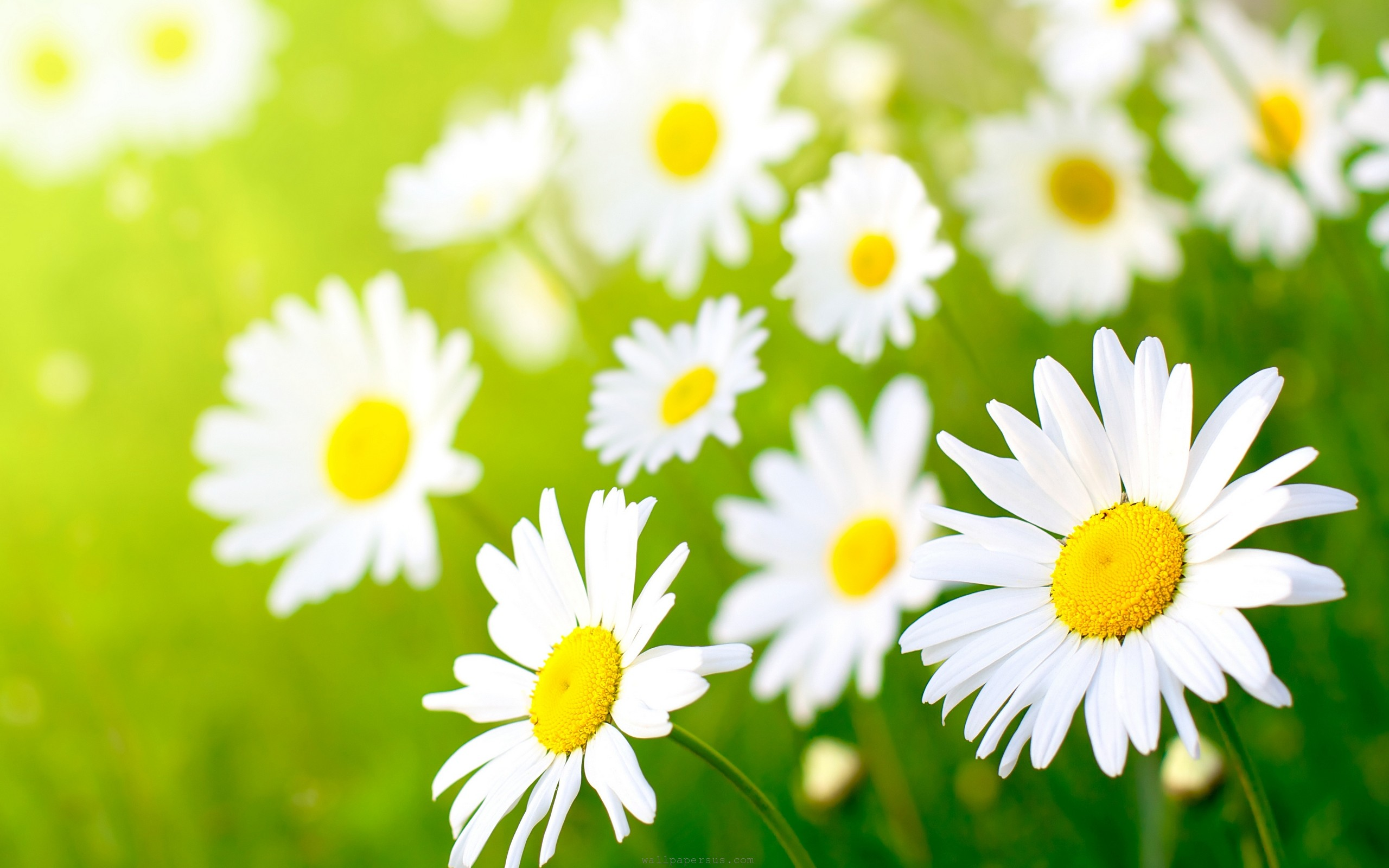 Daisies beauty colors daisy field flowersg allergen webmaster dhlflorist Choice Image